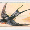 The swallow.