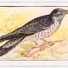 The cuckoo.