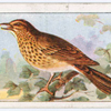 The song thrush.
