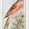The linnet.