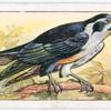 Black-legged falconet.