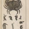 Le crabe appelé tourteau, ...