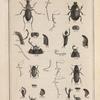 Le grand pilulaire de Geoffroy. (Scarabœus stercorarius, Lin.)