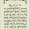 The scotch fir.