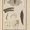 Le papillon gasé. (Papilio crataegi, Lin.)