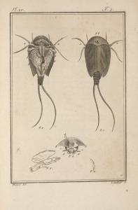Le binocle à queue en filet, de Geoffroy, (monoculus apus, Lin.) grossi.