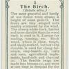 The birch.