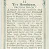 The hornbeam.