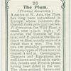 The plum.