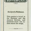 Anclyuris mebboeus.