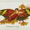Protogonius fabius.