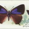 Great Britain - purple hairstreak.