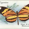 Central & South America - heliconius narcaea.