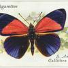 South America - callithea d. hewitsoni.