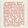Camberwell Beauty.