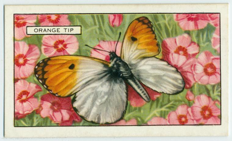 Orange Tip.