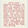 Privet Hawk.