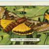 Yellow Underwing.