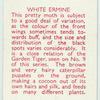 White Ermine.