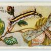 Common dagger moth and larva.