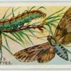 Pine-hawk moth & larva.
