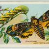 Death's-head hawk-moth & larva.