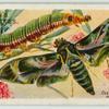 Oleander hawk-moth & larva.