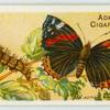 Red admiral butterfly & larva.