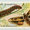 Spurge hawk-moth & larva.