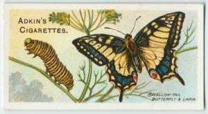 Swallow-tail butterfly & larva.