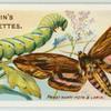 Privet hawk-moth & larva.