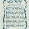 Goat moth & larva.