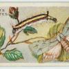 Common dagger moth & larva.