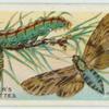 Pine hawk-moth & larva.