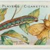 Lackey moth & larva.