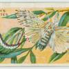 Puss moth & larva.