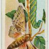 Poplar hawk-moth & larva.