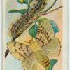 Gipsy moth & larva.