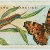 Large tortoise-shell butterfly & larva.