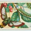 Bee hawk-moth & larva.