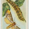 Buff-tip moth & larva.