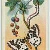 Magpie moth & larva.