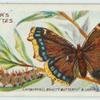 Camberwell beauty butterfly & larva.