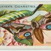 Eyed hawk-moth & larva.