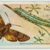 Humming-bird hawk-moth & larva.