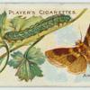 Burnished brass moth & larva.