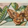 Emperor moth & larva.