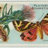Jersey tiger moth & larva.