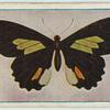 Papilio childrenae.