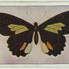 Papilio childrenae.